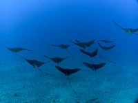 Spotted Eagle Ray squadron