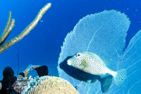 Spotted Trunkfish and Common Sea Fan